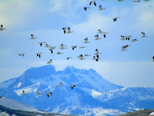 Snow geese during spring migration at Freezout Lake WMA.