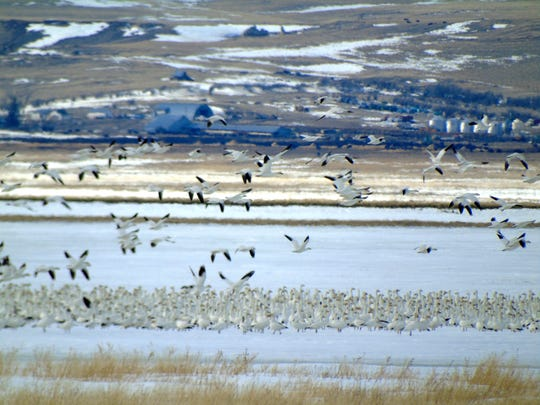 Snow geese during spring migration at Freezout Lake