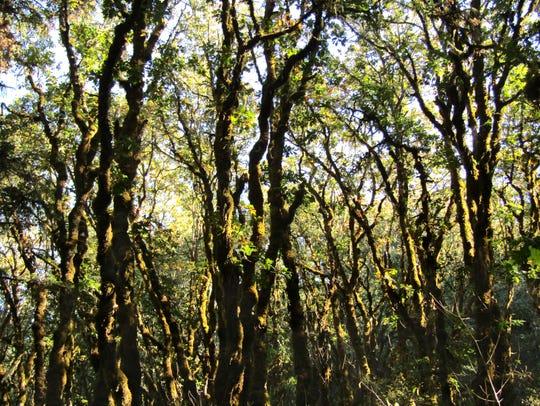 An oak thicket at Bald Hill.