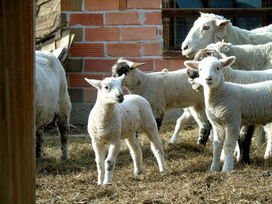 Sheep gather and prepare to head into the shed for