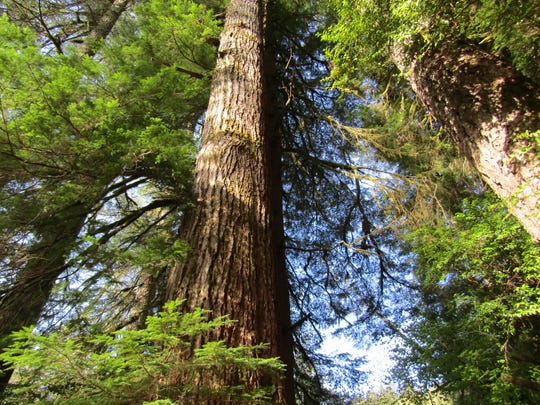 Pawn Old Growth Trail is one of the Coast Range's hidden treasures, a 0.8-mile loop amid trees 250 feet tall.