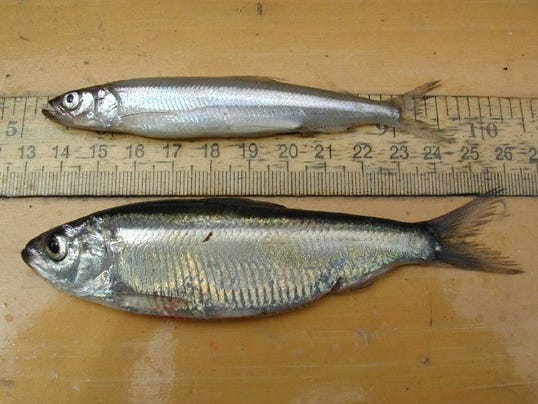20150421 smelt and alewife