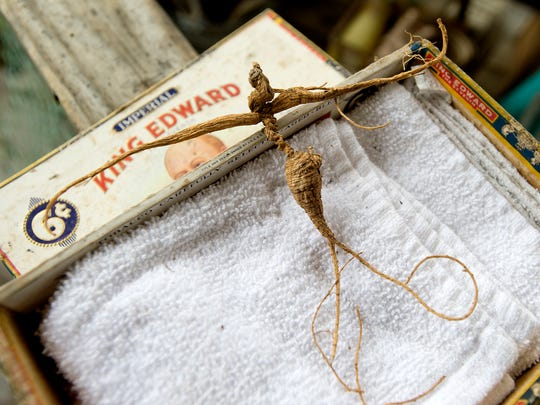 "Sam Lunsford' has been keeping one of his precious finds, a ginseng ""man root"" complete with head, arms and legs, in a cigar box until he can find a frame for it at his home in Madison County on Monday, Nov. 3, 2015. The root is very valuable in Asian herbal medicine."
