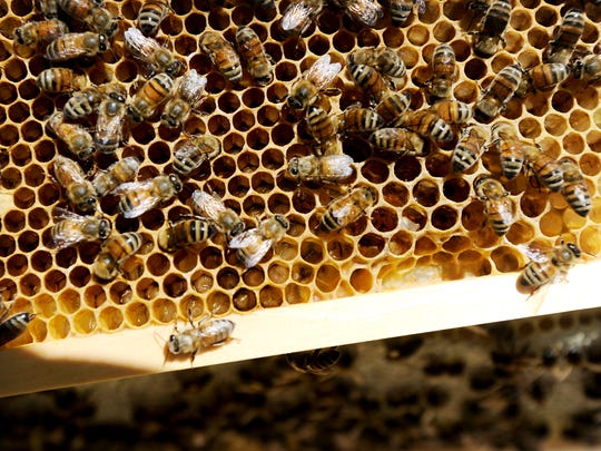 Bees walk around a section of comb filled with larva in a backyard beehive on Friday, May 22, 2015.