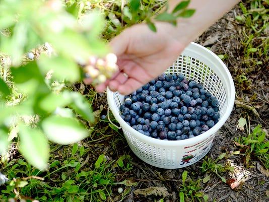 Hatchell-Blueberries-012.JPG