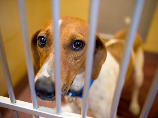 Murphy, a Hound mix, is one of the many dogs up for adoption at the Asheville Humane Society.