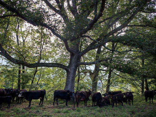 Cattle, belonging to Hickory Nut Gap Farm, graze in the shade of a tree Monday Aug. 29, 2016.