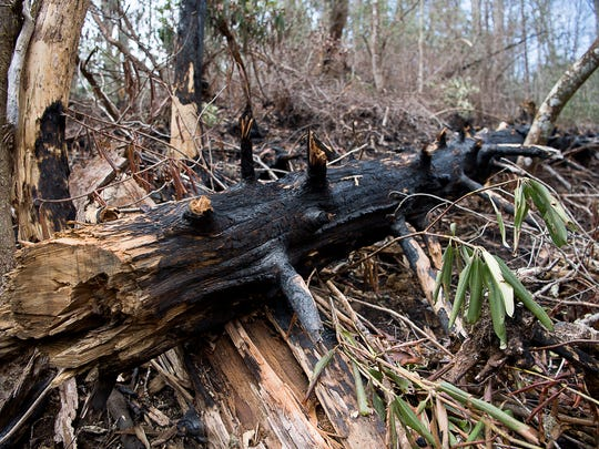 Part of a burned tree lays next to a trail in the Joyce Kilmer Memorial Forest.