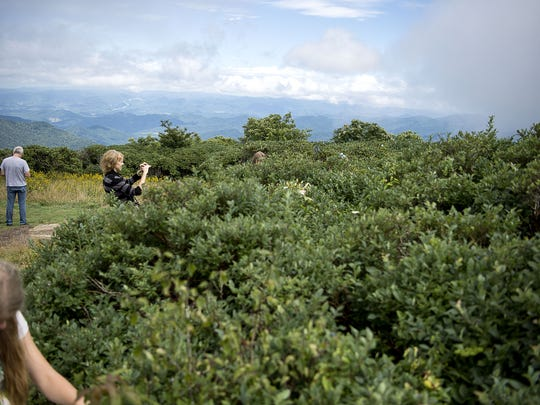Visitors pick blueberries last year at Craggy Flats, one of the most popular places for picking wild berries on the Blue Ridge Parkway.
