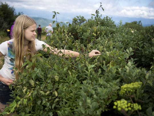 Gabriella Brzostoski spots a fresh, ripe blueberry for picking in August 2016 at Craggy Gardens on the Blue Ridge Parkway.