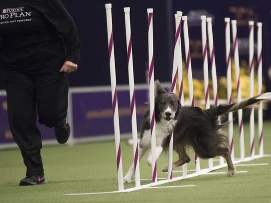 Dewley, a boarder collie, competes in the Masters Agility