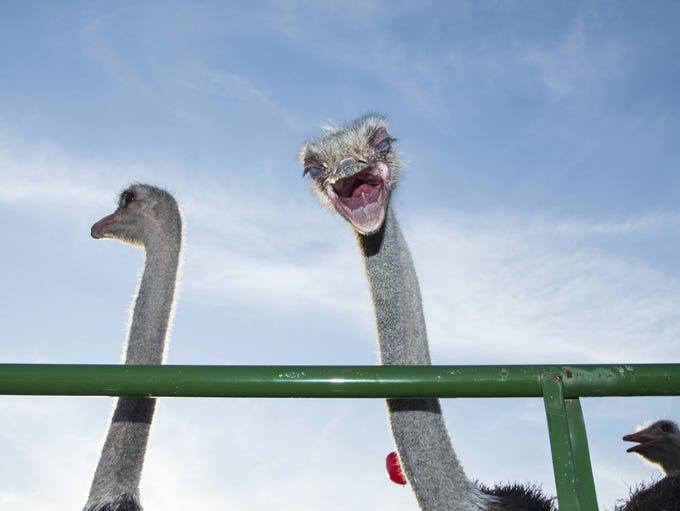 People enjoys Ostrich Festival at Tumbleweed Park in