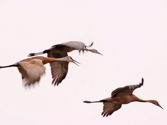 Sandhill cranes fly over Isle Royale National Park