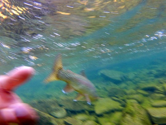 A rainbow trout is released after being caught on a