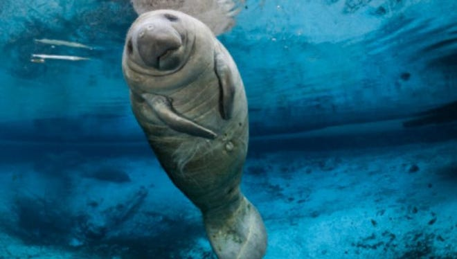 As manatees recover in Florida, their U.S. home base, more and more seem to be showing up farther west along the Gulf of Mexico.