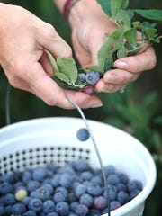 Blueberries are the easiest of all the berries to pick — no thorns, many of the berries are high on the vine and you can easily snag a basket full in a half-hour.