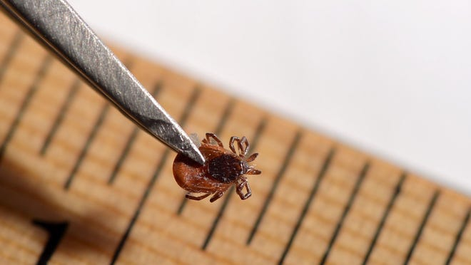 This is a 2018 file photo of adult female deer tick. Erie County Department of Health employees will use felt flags to collect ticks at various locations around the county later this year.