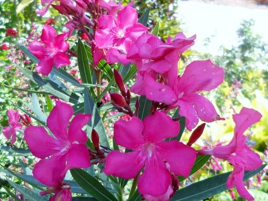 Calypso-Oleander.JPG