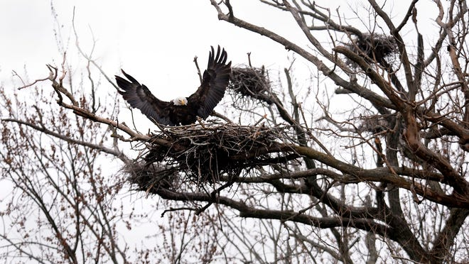 A bald eagle lands in the nest off the Red Cedar River near the Potter Park Zoo in Lansing Thursday, April 16. Area birdwatchers are excited about the eagle pair's arrival.
