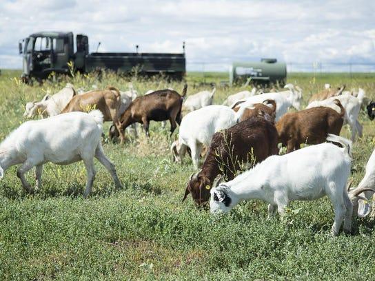 -goats_05.jpg_20160713.jpg
