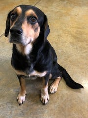 Toby is a 2- to 4-year-old, 55-pound, neutered, male