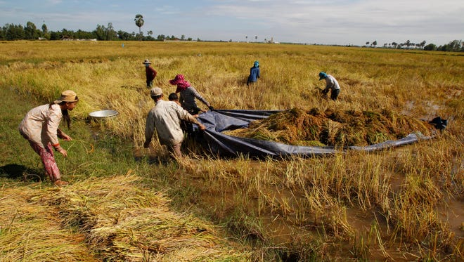Cambodian farmers drag a tarp loaded with bundles of rice through the flooded rice field to make them dry during the rice harvesting season in Svay Chek village on the outskirts of Phnom Penh.