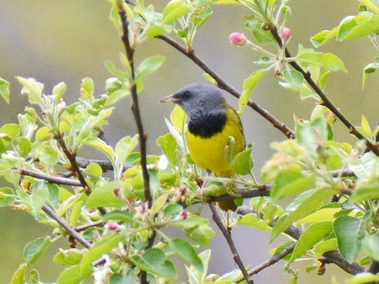 A mourning warbler was spotted at Peach Hill Park in Poughkeepsie.