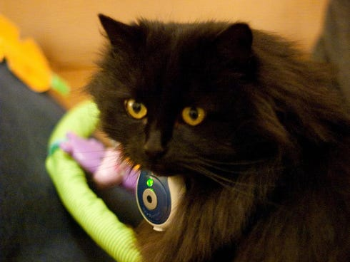 A black cat wearing an Uncle Milton's Pet's Eye View camera, designed to fit onto collars.
