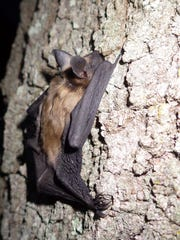 Big brown bat.