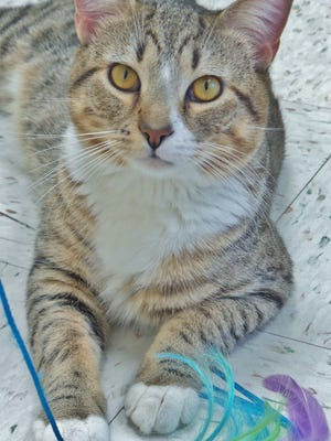 AJ is a 3-year-old brown tabby who is just a gorgeous fellow. He also happens to have a ton of personality. Whoever brings AJ home will be one lucky human!
