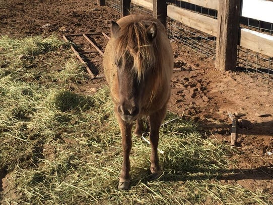 The miniature horse was able to walk away with only