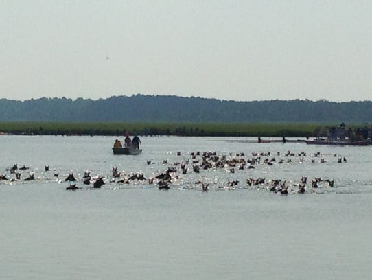 Chincoteague ponies make the swim from Assateague to