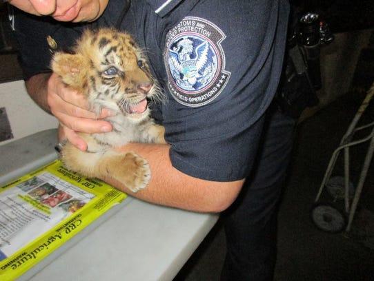 A tiger cub was taken into custody of U.S. Customs