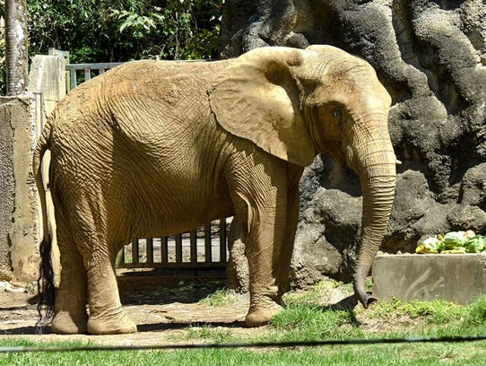 Mundi, a 34-year-old African elephant, is coming to Attapulgus, Georgia from Puerto Rico where it was housed in a struggling Puerto Rican zoo.