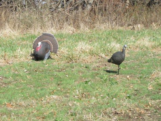 A big turkey gobbler being fooled by a hen decoy.