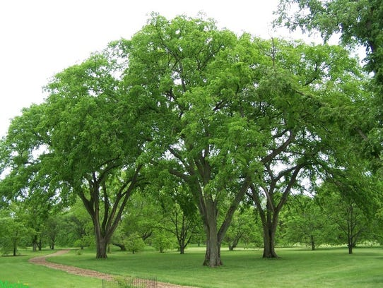 A stand of American Elm trees
