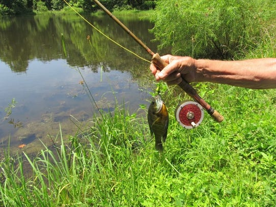 Bluegill abundant easy catches for beginners for Good beginner fishing rod