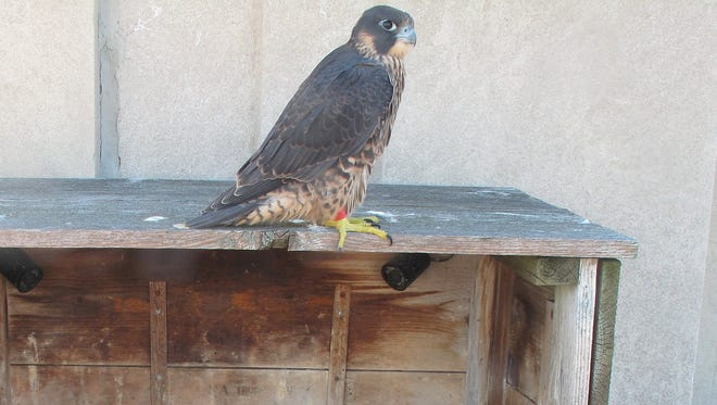 Bronx, a young peregrine falcon from the nest atop Rochester's Times Square Building has died.