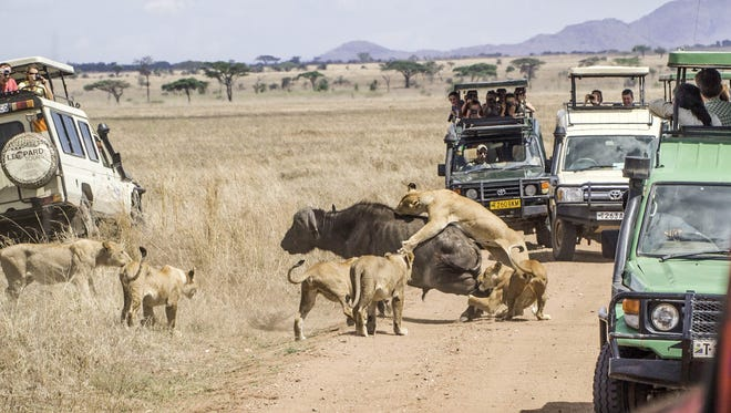 Photographers capture a buffalo being attacked by a group of lions in November 2013 during a safari in Tanzania. In each of the main safari destination countries -- Kenya, Botswana, Zambia, Zimbabwe, Namibia and Tanzania -- the safari tourism business is 10% or more of the economy, says Ashish Sanghrajka, president of Big Five Tours & Expeditions.