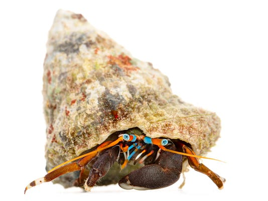 -CURIOUS_CRITTERS_by_David_FitzSimmons_9_Hawaiian_Reef_Hermit_Crab_1920.jpg_.jpg