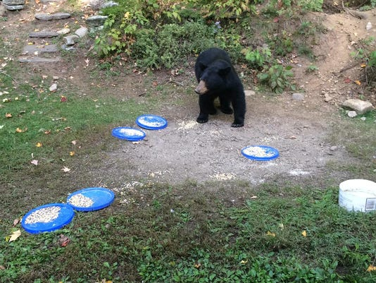 Bears Feeding in Burke Yard