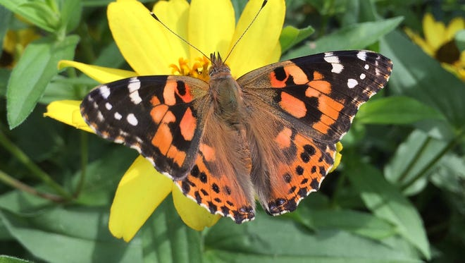 Painted lady butterflies seem to be at record numbers this year.