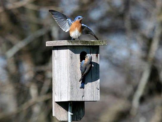 Bluebirds3.jpg