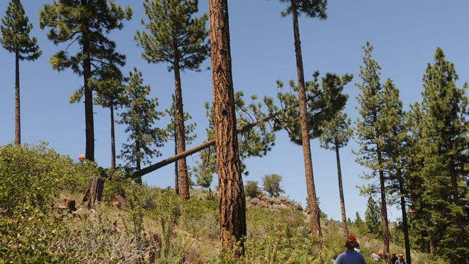 Crews fall a diseased pine tree in a Nevada Department of Forestry timber stand management project in Galena Forest Estates on June 12, 2014. Some trees are felled, others are pruned up to the height where they are disease free.