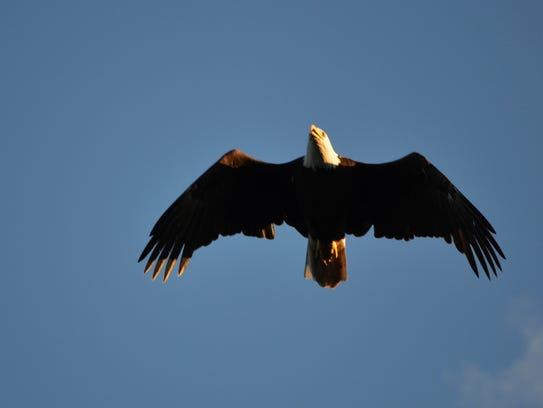 A record high of 13 bald eagles was counted this year
