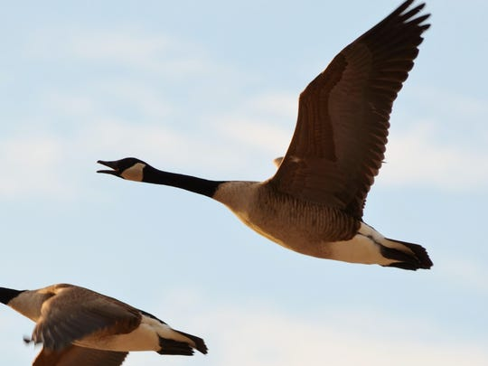 Middle Creek also draws in big numbers of Canada geese.