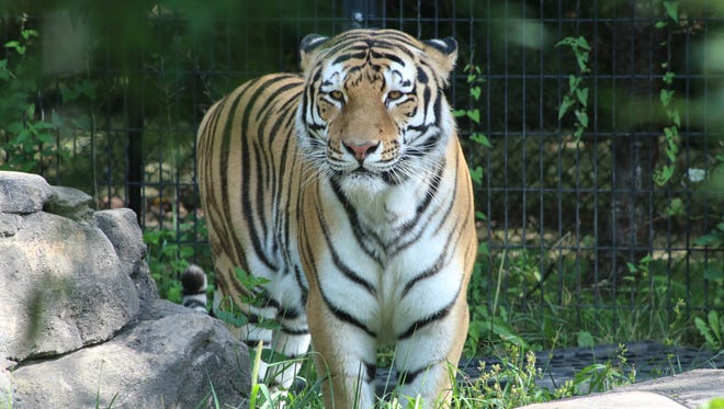 Max, a 6-year-old Siberian Tiger, will be on display at the Blank Park Zoo in Des Moines.