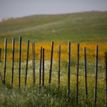 Wildflowers surround a fence near California State Route 223 on March 4, 2016, west of Tehachapi, Calif. Despite hopes that the major El Nino effect would bring drought-busting rains to southern California, the storms have been missing the region, delivering only half the rain of a normal year. After a brief period of heavy rain in January, Southern California experienced one of the hottest Februarys ever recorded, prompting early scenic wildflower blooms in several desert and foothill regions.