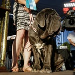 Meet homely mastiff Martha, World's Ugliest Dog