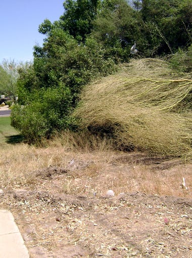 Dead trees have not been removed from the wash area near Thunderbird Road and Seventh Street in north Phoenix.